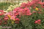 Menikmati Hamparan Bunga di Tengah Dinginnya Udara